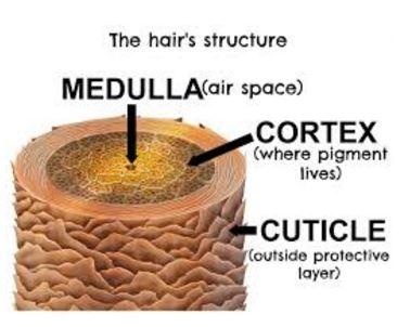 hair-cuticle